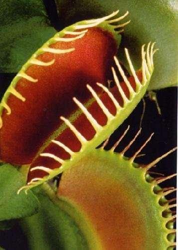 Pianta carnivora senza pietà! Cresce tutto l'anno, include semi e kit completo, circa 3€